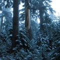 Old-growth forest of noble fir and western hemlock.- Mount Hood, Sandy Glacier Ice Caves