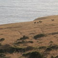 A herd of Sonoma deer enjoying the ocean views.- Kortum Trail