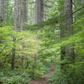 The trail leads through western hemlock and young Douglas fir.- Henline Falls