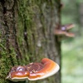 Western varnished cork (Ganoderma oregonense).- Henline Falls