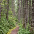 Western hemlock and young Douglas fir line the trail to Henline Falls.- Henline Falls
