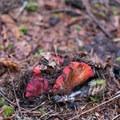 Lobster mushroom (Hypomyces lactifluorum).- Henline Falls