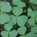 Oregon Oxalis (Oxalis Oregana).- Panther Creek Falls
