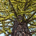 Mossy, old-growth ponderosa pine (Pinus ponderosa) at the start of the hike.- Black Butte Hike