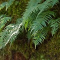 Licorice fern  (Polypodium glycyrrhiza).- North Fork Trail