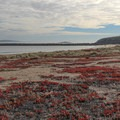 The invsasive red ice plant makes for a colorful stretch of sand at Doran Beach. - Doran Regional Park + Doran Beach