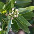 California bay tree (Umbellularia californica).- Coastal Trail, Pantoll to W Ridgecrest Blvd