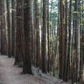 Redwoods along the Dipsea Trail in Mount Tamalpais State Park.- Mount Tamalpais State Park