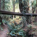 Redwoods aplenty on the Steep Ravine Trail.- Steep Ravine Trail to Dipsea Trail Loop