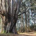 A eucalyptus grove marks the junction with the Palomarin Beach trail.- Palomarin Hike to Bass Lake