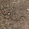A common garter snake (Thamnophis sirtalis) spotted along the Coast Trail.- Palomarin Hike to Bass Lake