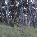 Bishop pine at Stump Beach Cove.- Salt Point Trail