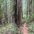 The first half mile of the Damnation Creek Trail explores mangificent old-growth redwoods.- Damnation Creek Trail