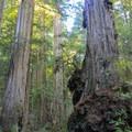 Massive coast redwoods (Sequoia sempervirens) along the Ellsworth Loop Trail.- Leiffer + Ellsworth Loop Trails