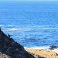 Deer foraging at Sea Lion Point.- Point Lobos State Natural Reserve