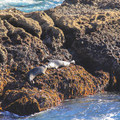 Harbor seals sharing an intimate moment.- Point Lobos State Natural Reserve