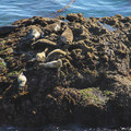 Harbor seals enjoying the afternoon sun along the South Shore Trail in Point Lobos State Natural Reserve.- Point Lobos State Natural Reserve