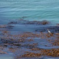 A common egret (Ardea alba) fishes patiently in the kelp beds. - Bird Island Trail