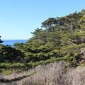 The foliage of Monterey cypress. The Cypress Grove trail explores one of only two remaining naturally occuring Monterey cypress groves.- Cypress Grove Trail