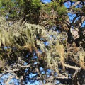 Lace lichen (Ramalina menziesii), or Old Man's Beard, finds a home in the cypress limbs.- Cypress Grove Trail