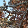 Trentapohlia, a green algae, grows on the cypress trees of Point Lobos.- Cypress Grove Trail