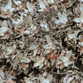 Bluff lettuce (Dudleya farinosa) on the Cypress Grove Trail.- Cypress Grove Trail