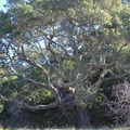 A large coast live oak stands proud along the Creamery Meadow Trail. - Andrew Molera State Park