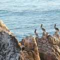 Brown pelicans (Pelecanus occidentalis) at Molera Point.- Andrew Molera State Beach