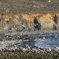 Western gulls (Larus occidentalis) taking flight from Andrew Molera State Beach.- Andrew Molera State Beach