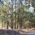 Blue gum eucalyptus (Eucalyptus globulus) of Cooper's Grove.- Headlands Trail