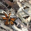 Mating monarch butterflies (Danaus plexippus) in Cooper's Grove.- Headlands Trail