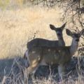 Blacktailed deer seeking shade along the Headlands Trail.- Headlands Trail