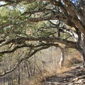 Large coast live oaks hang over the Headlands Trail.- Headlands to Creamery Meadow Loop
