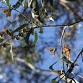 Monarch butterflies (Danaus plexippus) roosting along the Headland Trail.- Headlands to Creamery Meadow Loop