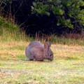 Snowshoe hare (Lepus americanus) along the Trinidad Head Loop.- Trinidad Head Loop