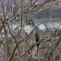 Juvenile red-tailed hawk (Buteo jamaicensis).- Billy Frank Jr. Nisqually National Wildlife Refuge