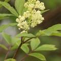 Indian plum (Oemleria).- Billy Frank Jr. Nisqually National Wildlife Refuge