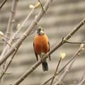 American robin (Turdus migratorius).- Billy Frank Jr. Nisqually National Wildlife Refuge