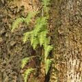 Licorice ferns on a bigleaf maple trunk.- Billy Frank Jr. Nisqually National Wildlife Refuge