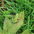 Pacific tree frog (Pseudacris regilla).- Billy Frank Jr. Nisqually National Wildlife Refuge