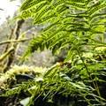 Licorice fern (Polypodium glycyrrhiza).- Clackamas + Memaloose Falls