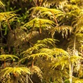 Stair-step moss (Hylocomium splendens).- Clackamas + Memaloose Falls