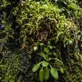 Oregon beaked moss (Kindbergia oregana).- Clackamas + Memaloose Falls