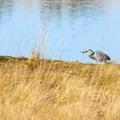 Great Blue Heron (Ardea herodias) at John's River State Wildlife Area.- John's River State Wildlife Area