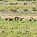 Canada geese (Branta canadensis).- John's River State Wildlife Area