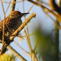 Grayland Beach State Park: male Northern Flicker (Colaptes auratus).- Grayland Beach State Park
