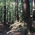 Redwood grove along Pfeiffer Redwood Creek.- Pfeiffer Big Sur State Park