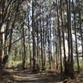 Eucalyptus forest near the trailhead.- Palomarin Hike to Alamere Falls