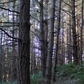 Forest between Bass Lake and Pelican Lake.- Palomarin Hike to Alamere Falls