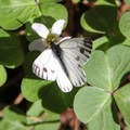 Margined white butterfly (Pieris marginalis).- Limekiln Trail